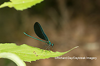 06014-00401 Ebony Jewelwing (Calopteryx maculata) male Washington Co. MO