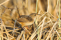 Adult Sedge Wren (Cistothorus platensis). Alberta, Canada. May.