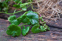 Gewöhnlicher Gundermann, Gundermann, Efeublättriger Gundermann, Echt-Gundelrebe, Gundelrebe, Glechoma hederacea, Alehoof, Ground Ivy, ground-ivy, gill-over-the-ground, creeping charlie, tunhoof, catsfoot, field balm, run-away-robin, le Lierre terrestre, Le gléchome lierre terrestre, le lierre terrestre commun. Blatt, Blätter, leaf, leaves, Wurzel, Wurzeln, root, roots