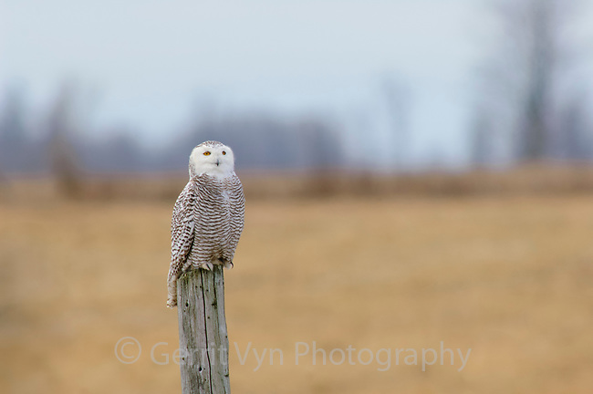 Immature female Snowy Owl (Bubo scandiacus) on fence post. Wolfe Island, Ontario. January.