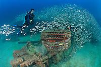 QT1254-D. Spottail Grunts (Haemulon maculicauda) schooling around La Salvatierra shipwreck and female scuba diver (model released), near La Paz. Baja, Mexico, Sea of Cortez, Pacific Ocean.<br /> Photo Copyright &copy; Brandon Cole. All rights reserved worldwide.  www.brandoncole.com