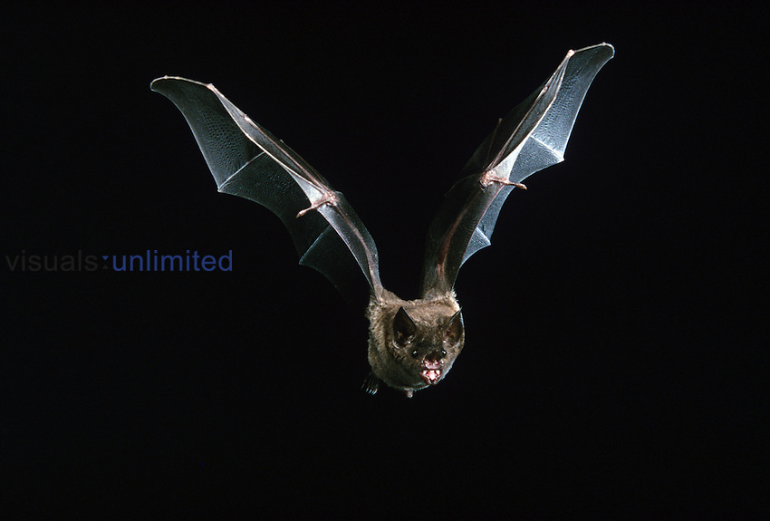 Short-tailed Leaf-nosed Bat in flight echolocating (Carollia perspicillata), Central and South America....