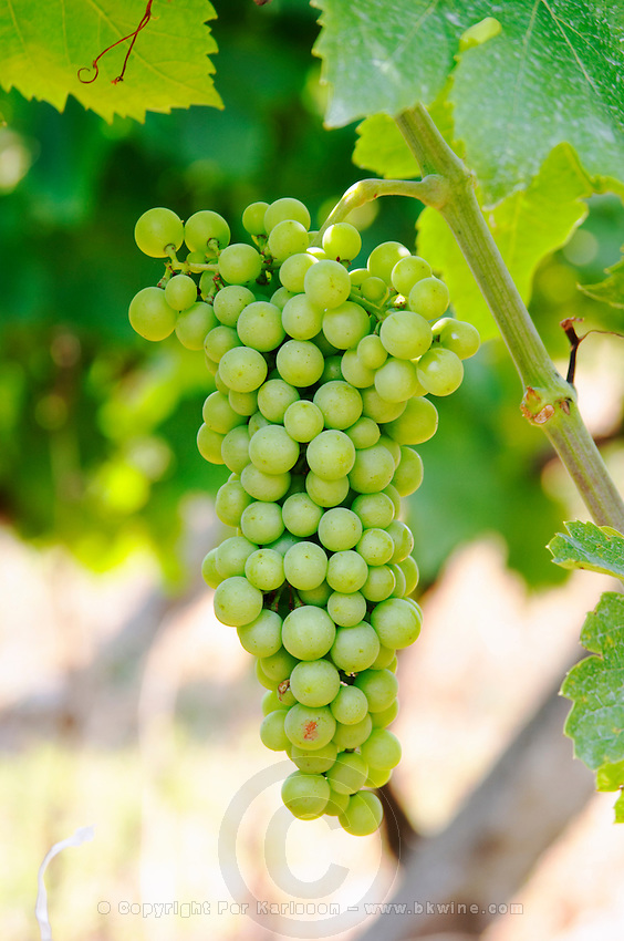 Grape bunch. Tempranillo grape variety. Kantina Miqesia or Medaur winery, Koplik. Albania, Balkan, Europe.