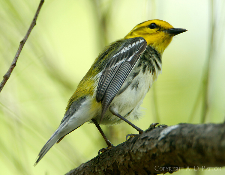 Adult female black-throated green warbler stretching wing