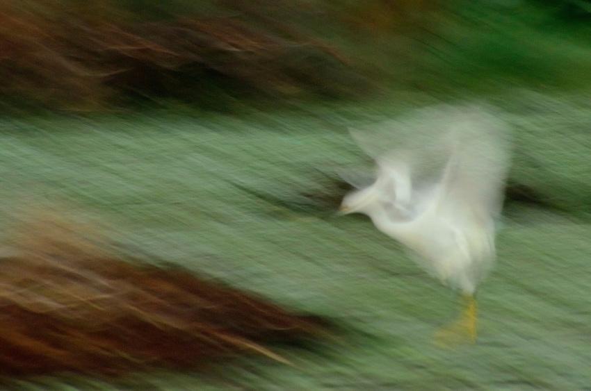 Snowy Egret, Green Cay, Delray Beach, FL, United States Snowy Egret