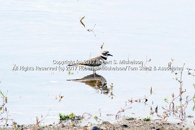 Killdeer feeding in the shallows of The Great Pond Reservoir, Randolph Massachusetts