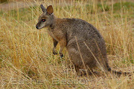 Tamar Wallaby, surrogate parent for Brush-tailed Rock Wallaby joeys, Tidbinbilla Nature Reserve