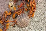 Sand dollar and bladderwort on beach