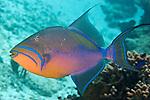 Balistes vetula, Queen triggerfish, Cozumel, Mexico