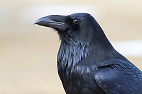 Common raven, interior Alaska.