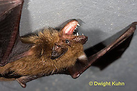 MA20-793z  Big Brown Bat threatening with mouth open showing teeth, Eptesicus fuscus