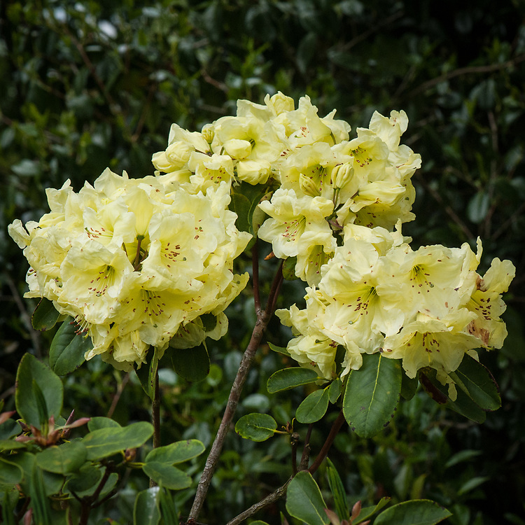 Rhododendron 'Amity', late May.