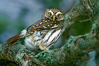 563990024 a wild ferruginous pygmy owl glassidium brasilianum perches in a large tree on a private ranch in the rio grande valley of south texas