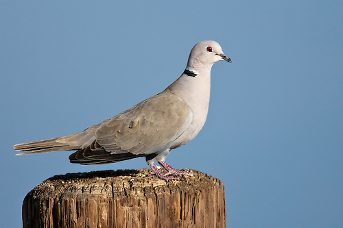Collared-Dove - Streptopelia decaocto
