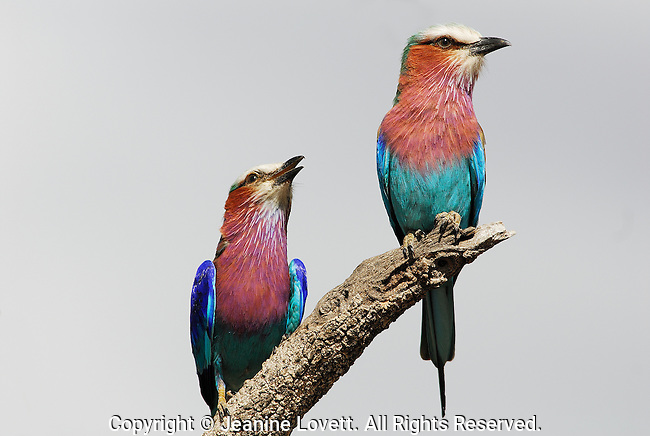 Courting Male and female lilac breasted rollers on a branch. Male is below looking at female.