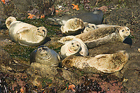 Harbor Seals (Phoca vitulina) basking on rocks at low tide (notice sea stars and green anemone).  Pacific Northwest.  Summer.