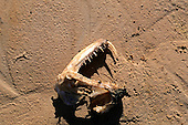 Pantanal, Mato Grosso State, Brazil; skull of a snake with fangs lying on a sandy river bank.