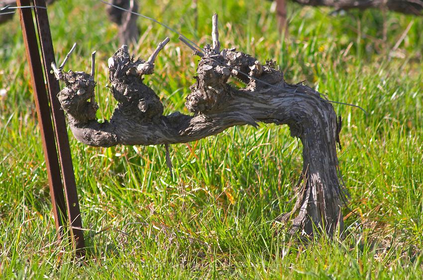 An old vine in Cordon. Château Barbanau and Clos Val-Bruyere Cassis Cote d'Azur Var France