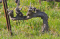 An old vine in Cordon. Château Barbanau and Clos Val-Bruyere Cassis Cote d'Azur Var France