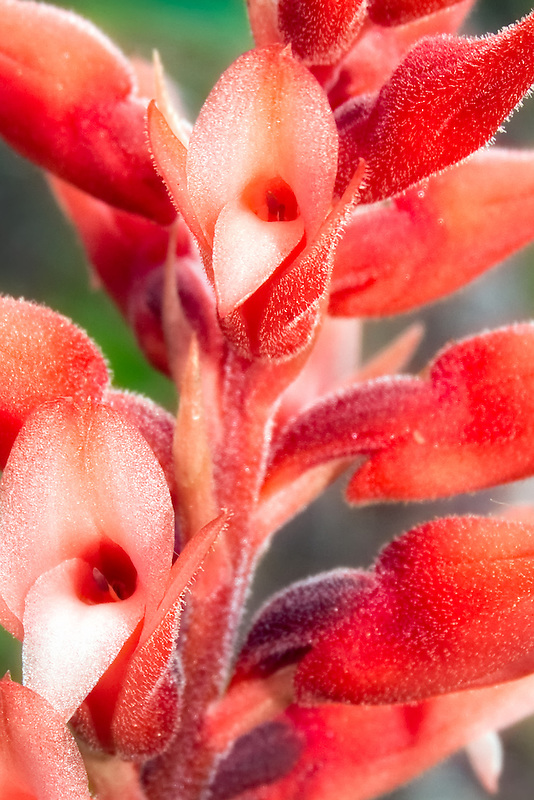 Close-up view of the beautiful fuzzy scarlet flowers of the leafless beaked orchid.