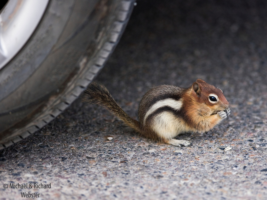 Golden-Mantled Ground Squirrel, Alberta, Canada. Similar to the Chipmunk but without any facial stripes.