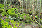 Appalachian Trail - Moss covered forest along  Kinsman Ridge Trail during the summer months. Located in White Mountains, New Hampshire  USA.