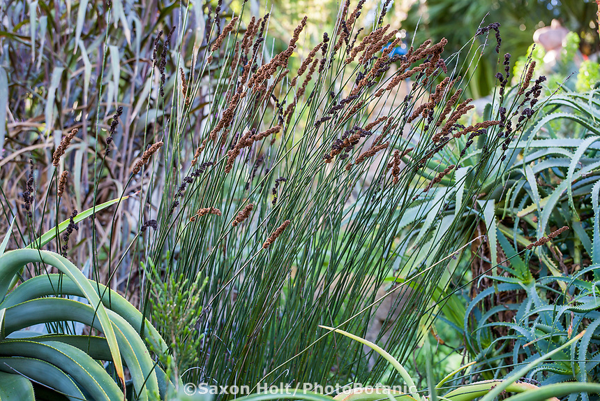 Rhodocoma gigantea (Giant Restio, Dekriet)), Jim Bishop and Scott Borden garden