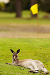 Eastern Grey Kangaroo (Macropus giganteus) resting on golf course, Jervis Bay, New South Wales, Australia