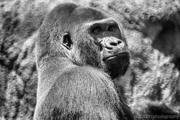 Black and white image of a gorilla