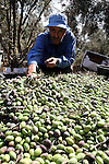 A Palestinian farmer harvesting olives during the olive harvest , near the Bureij refugee camp, central Gaza Strip, Saturday, Oct. 9, 2010 . Palestinians began the annual harvest of olives, a staple for many local farmers that also use them to make olive . Photo by Ashraf Amra