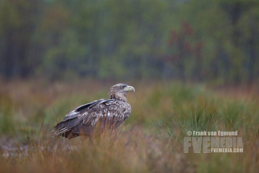 White-tail Eagle (Haliaeetus albicilla). In the rain. Estonia.