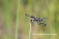 06580-00217 Banded Pennant (Celithemis fasciata) male Washinton Co. MO