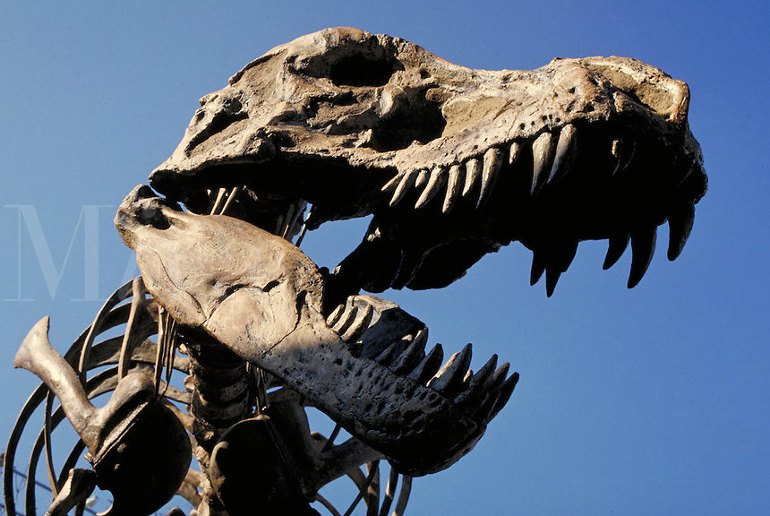 fossil skeleton replica of Tyrannosaurus Rex upper body.