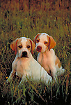 Pointer puppies in the field in the warm glow of sunset Shopping cart has 3 Tabs:<br />