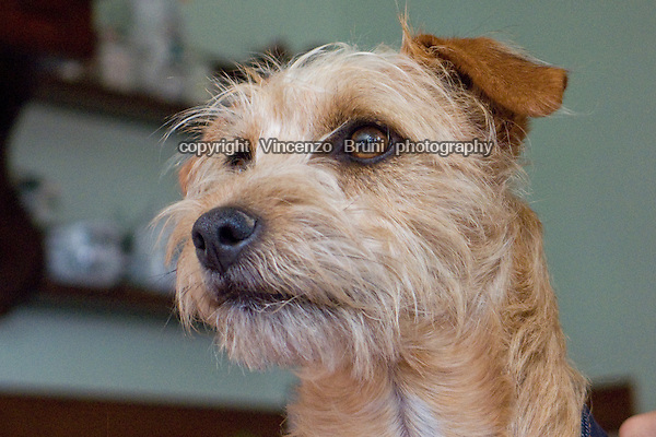 Portrait of a Yorkshire type dog