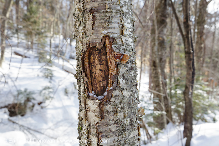 February 2015 - A tree wound on a yellow birch tree along the Mt Tecumseh Trail in New Hampshire. Proper trail blaze removal protocol was not used when a painted trail marker (blaze) was removed from this tree, and this is the ending result. The blaze was painted on the tree in 2011, and then improperly removed from the tree in the spring of 2012. The bark, where the blaze was, was cut and peeled away creating a tree wound.