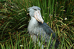 Shoebill, Whale headed Stork, Balaeniceps rex, Central Africa, Humour. .Africa....