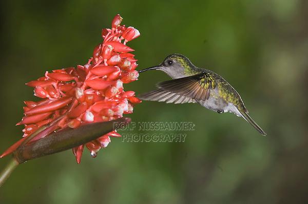 Black-bellied Hummingbird, Eupherusa nigriventris, female in flight feeding on Flower of the Ginger plant family , Central Valley, Costa Rica, Central America, December 2006