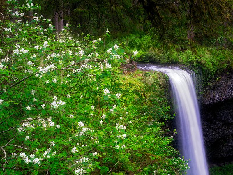 South Falls with Mock Orange blomming bushes. Silver Falls State Park, Oregon