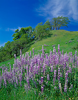 Redwood National Park, CA<br /> Meadow with bigleaf lupine (Lupinus polyphyllus) and rolling hills with Oregon white oaks (Quercus garryana) on Bald Hills road near Childs Hill Prairie