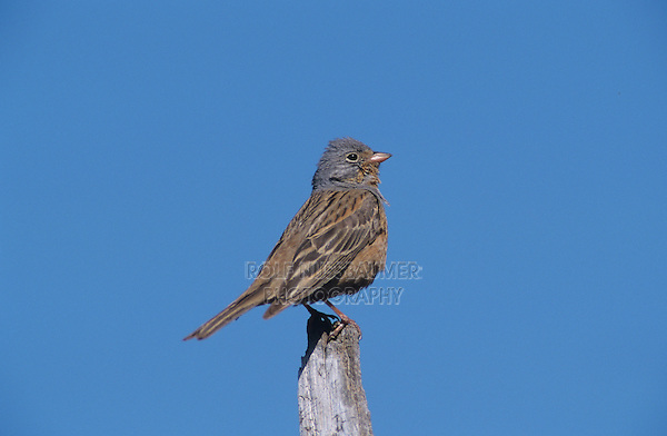 Cretzschmar's Bunting,  Emberiza caesia, male singing, Samos, Greek Island, Greece, Europe