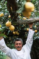 """Europe/Italie/Campanie/Env de la Côte Amalfitaine/Sant'Agata Sui Due Golfi: Alfonso Iaccarino chef du restaurant """"Don Alfonso 1890"""" récolte ses citrons dans sa ferme Bio face à l'Ile de Capri"""