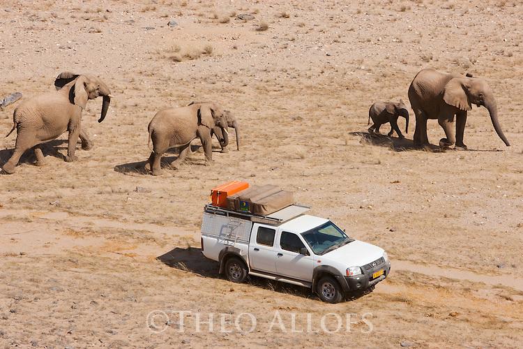 Namibia;  Namib Desert, Skeleton Coast,  desert elephant (Loxodonta africana) breeding herd walking past tourist vehicle in dry river bed