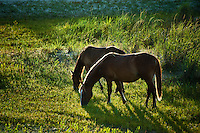 Wild Spanish grazing, Outer Banks, North Carolina, USA