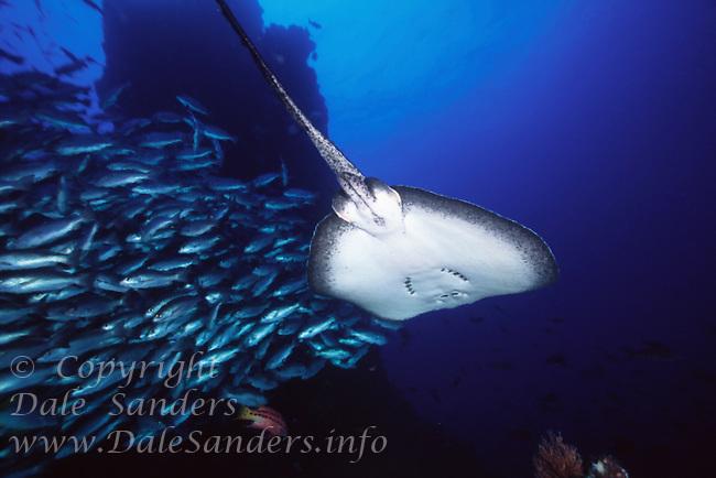 Marble Ray ( Taeniura meyeri ) flys past schooling fish underwater off Cocos Island, Costa Rica.