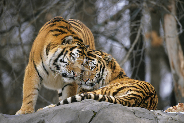 Siberian Tigers (Panthera Tigris Altaica) Endangered Species.