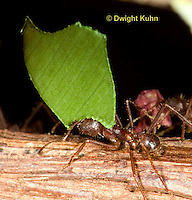 AN14-514z  Leafcutter Ants carrying leaves to nest, Atta mexicana