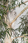 An Australian Tawny Frogmouth (Podargidae: Podargus strigoides), also known as Tawny-shouldered Frogmouth, or (incorrectly) as Mopoke, Morepoke and Frogmouth Owl, roosts during the daytime in a Cajuput Tree (Myrtaceae: Melaleuca leucadendron) in a suburban street. Its mate may be sitting on a nest nearby.  //  Frogmouth: to 50cm, nocturnal, preys on insects and small vertebrates, open woodland throughout Australia, Tasmania, southern New Guinea, weak anisodactyl toes useless for catching prey;  /  Cajuput Tree: to 40m, tropical Australia, especially near water, paperbark, drought tolerant, popular in cultivation;