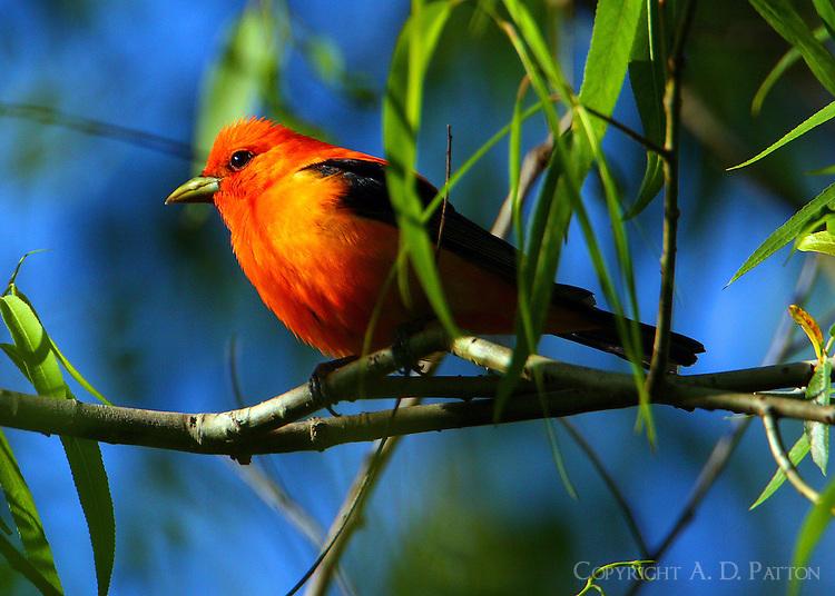 Orange-colored variant adult male scarlet tanager
