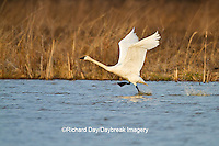 00759-00308 Tundra Swan (Cygnus columbianus) lifting off from wetland at Prairie Ridge State Natural Area, Marion Co., IL